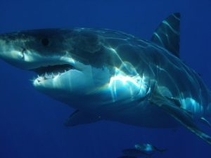 Great Whites With Research Trackers Position Off N.C. Coast