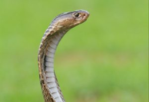Zebra Cobra Owner Is Being Charged For A Snake Escape